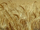 wheat2sm