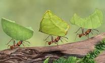 Ants can carry many times their weight to prepare for Winter Proverbs 30:25