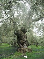 170px-Ancient_Olive_Tree_in_Pelion,_Greece